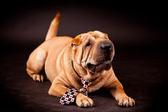 Sharpei dog in studio Stock Images