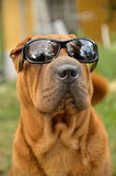 Sharpei Dog in sunglasses Royalty Free Stock Photos