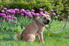 Sharpei dog with tulips Royalty Free Stock Photos