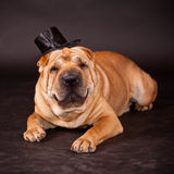 Sharpei dog waring stovepipe Stock Images
