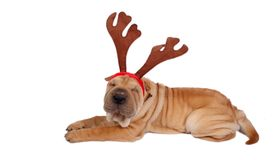 Sharpei dog weaing antler Royalty Free Stock Photos