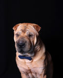 Sharpei dog wearing necktie Royalty Free Stock Images