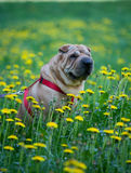 Sharpei dog with yellow flowers Stock Photography