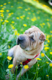 Sharpei dog with yellow flowers Stock Images