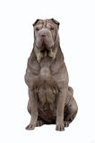 Sharpei draw Stock Images