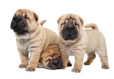 Sharpei drei Welpenhund lizenzfreie stockfotos
