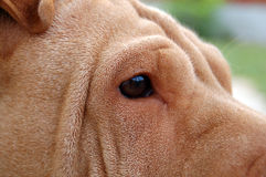 Sharpei eye. Clear eyes from a sharpei girl Royalty Free Stock Image