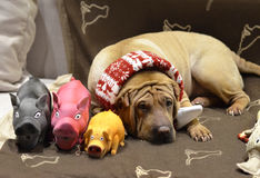 Sharpei female with christmass scarf Stock Photography