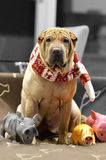 Sharpei female with christmass scarf. Traditional Sharpei female with christmass scarf and with dog toys around, sitting on the sofa Stock Images