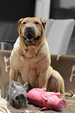 Sharpei female with christmass scarf Royalty Free Stock Image