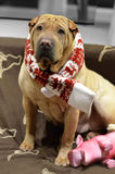 Sharpei female with christmass scarf. Traditional Sharpei female with christmass scarf looking up sitting on the sofa Stock Photo