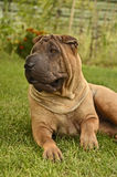 Sharpei female dog in the grass. Fawn, horse coat sharpei female laying in the garden, on the grass Stock Image