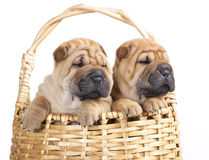Sharpei in front of a blue background Royalty Free Stock Image