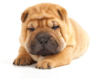 Sharpei in front of a blue background Stock Images