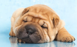 Sharpei in front of a blue background Stock Photography