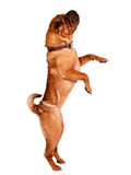 Sharpei hund Arkivfoton