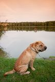 Sharpei-Hund Stockbild