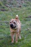 Sharpei hund Royaltyfri Fotografi