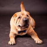 Sharpei hund i studio Fotografering för Bildbyråer