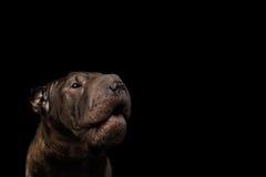 Sharpei-Hund lokalisiert auf schwarzem Hintergrund stockfoto