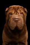 Sharpei hund som isoleras på svart bakgrund Arkivfoto