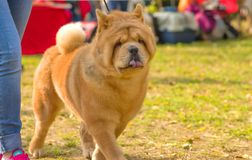 Sharpei hundnärbild Royaltyfria Foton