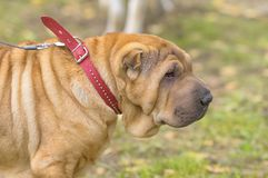 Sharpei hundnärbild Royaltyfria Bilder