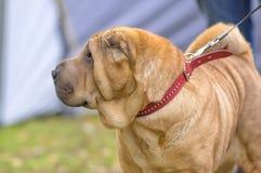 Sharpei hundnärbild Royaltyfri Foto