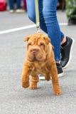 Sharpei hundnärbild Arkivfoto