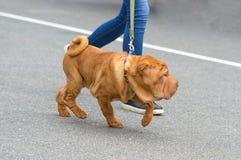 Sharpei hundnärbild Royaltyfri Bild