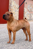 Sharpei on leash. Red- fawn sharpei male showstack standing on leash Stock Photo
