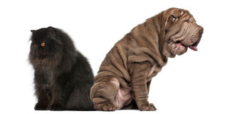 Sharpei and Persian sitting back to back Stock Image