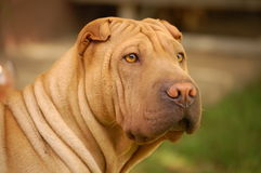 Sharpei portrait about a female Stock Photos