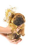 Sharpei puppie. Human hadns holding beautiful sharpei puppie with golden bow isolated on white background Royalty Free Stock Photo