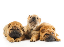 Sharpei puppies. Group of three beautiful sharpei puppies isolated on white background Royalty Free Stock Photo