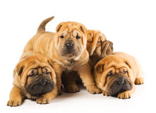 Sharpei puppies Royalty Free Stock Image