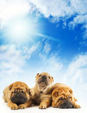 Sharpei puppies Royalty Free Stock Photo