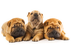 Sharpei puppies Stock Photos
