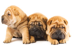 Sharpei puppies Stock Image