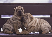 Sharpei puppies on a bench stock photos