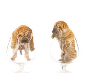 Sharpei puppies inside glasses Royalty Free Stock Photo