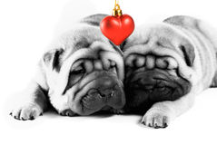 Sharpei puppies in love stock image