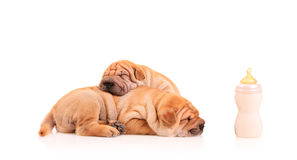 Sharpei puppies resting Royalty Free Stock Image