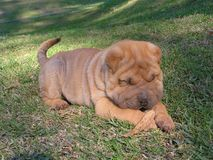 Sharpei Puppy Royalty Free Stock Photo