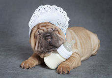 Sharpei Puppy Royalty Free Stock Images