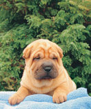 Sharpei puppy. On a towel stock image
