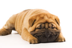 Sharpei puppy Stock Images