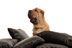 Sharpei puppy with black pillows Royalty Free Stock Photo