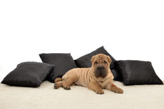 Sharpei puppy with black pillows Stock Photography