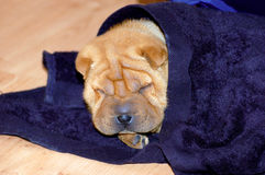 Sharpei Puppy Dog Sleeping stock images
